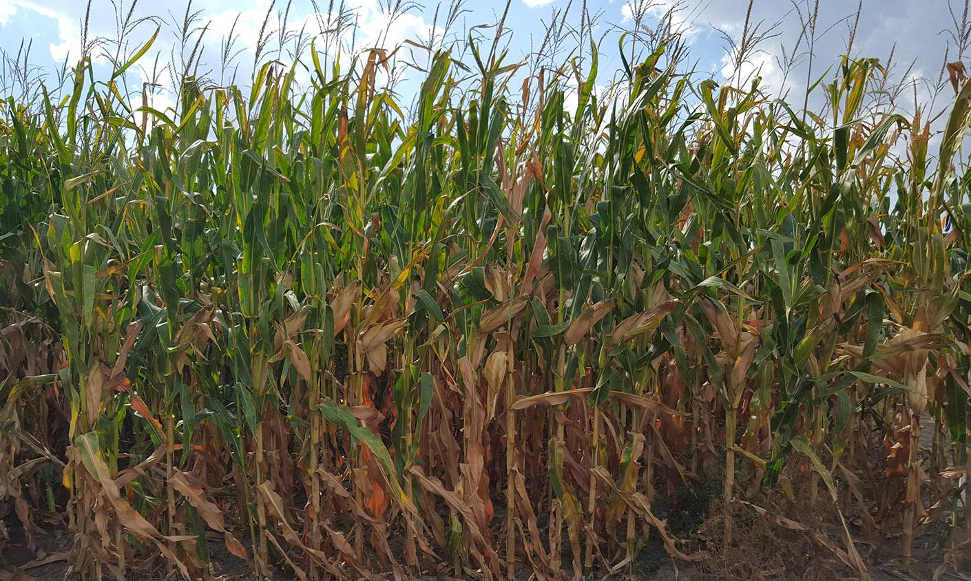 Corn premature plant death.jpg