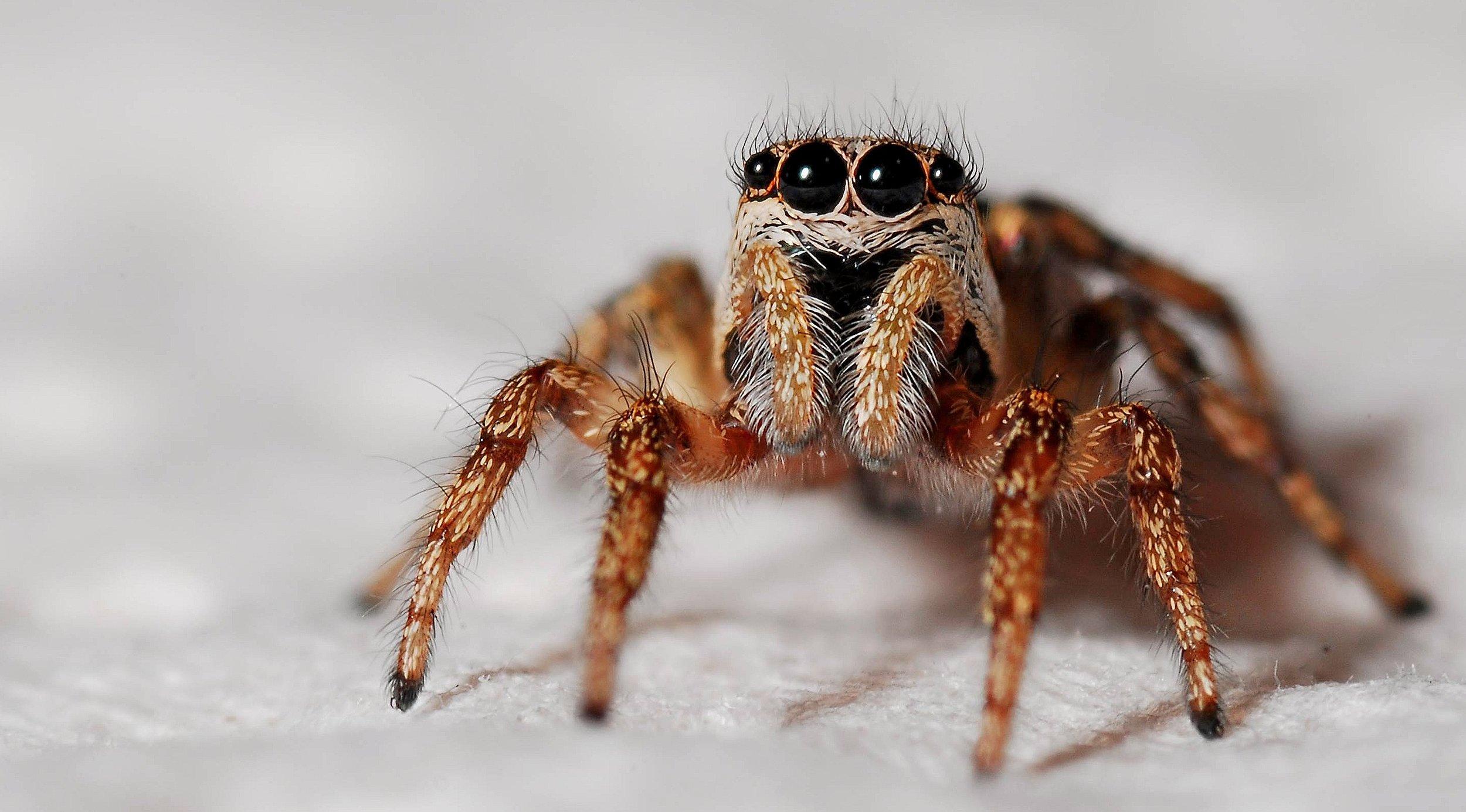 spider-macro-zebra-spider-insect-40795.jpeg