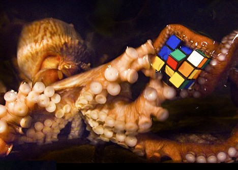 """Octopodes show great dexterity and problem solving skills: they know how to turn certain difficult problems into easy ones. (Note that they also tend to hold Rubik's cubes in their favored arm, indicating that they are  not """"octidextrous"""" .)  Image credit:    Bournemouth News   ."""