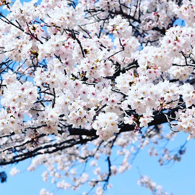 #桜 #新宿御苑