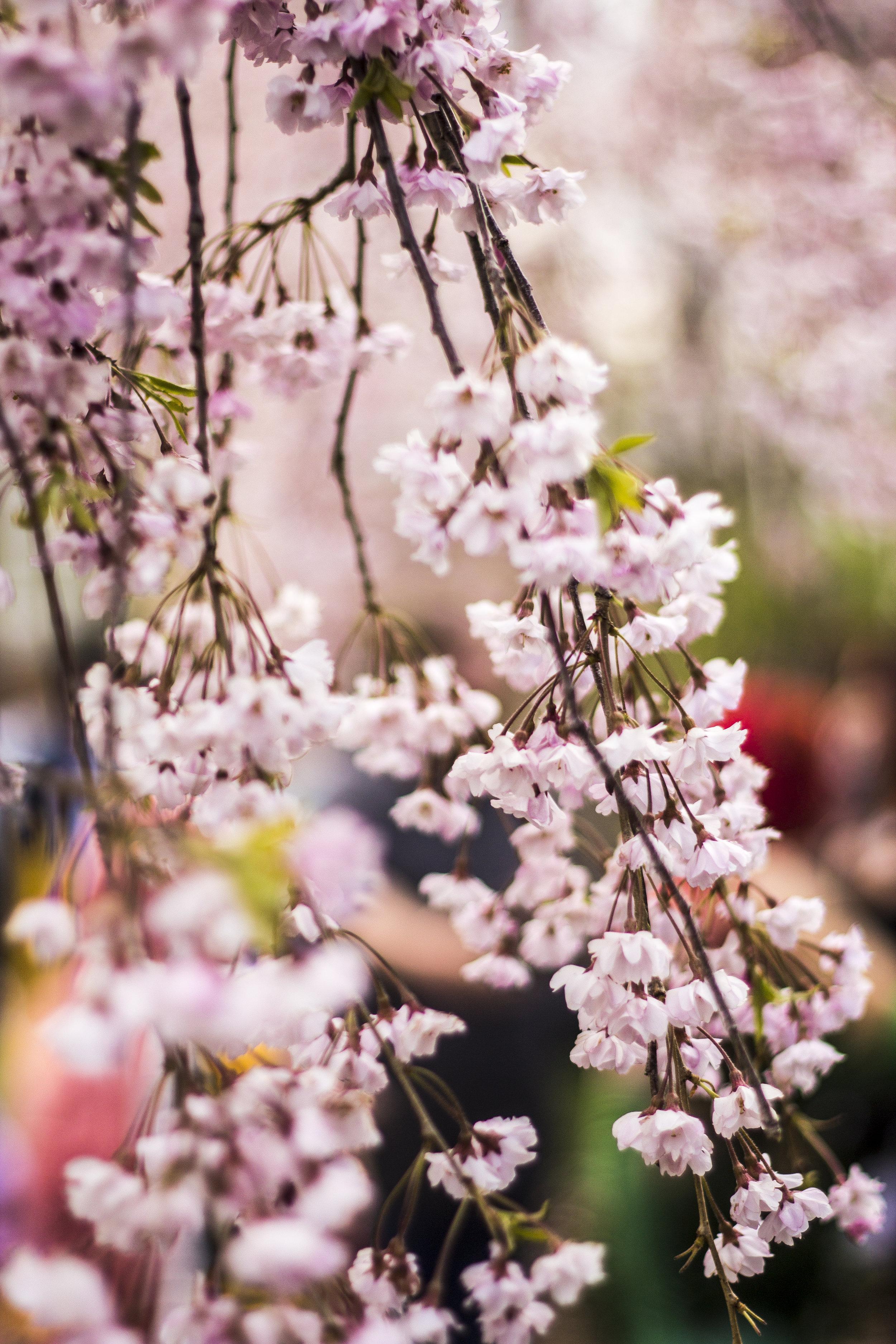 cherry-blossom_14039301462_o.jpg