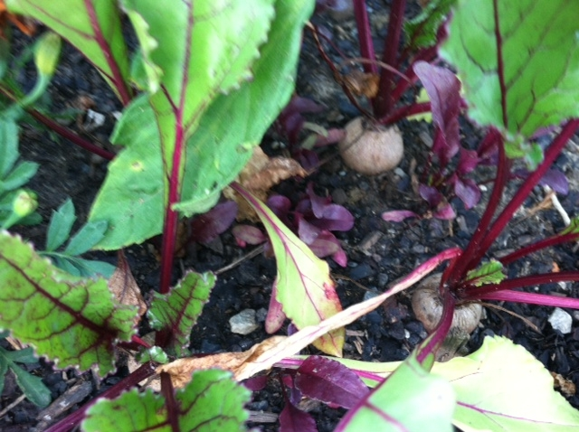 Baby beets, almost ready to eat!