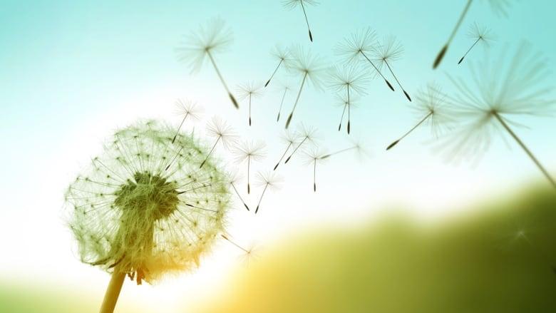 dandelion-blowing-away.jpg