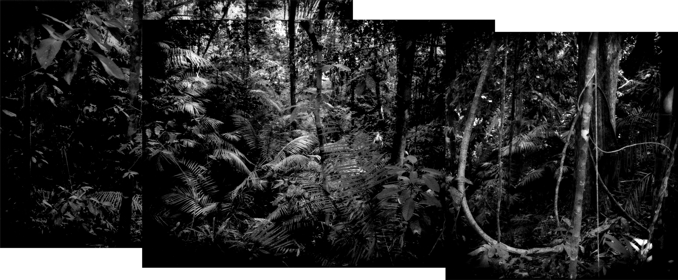 Palms in the undercanopy of the rainforest in Taman Negara National Park, 434,300 hectares (4,343 sq. km / 1,676 sq. miles) of protected 130 million year old primary rainforest that supports tigers, sumatran rhinoceros, Asian elephants, Malaysian gaur (wild bovine), tapir, gibbons, monkeys totaling over 200 species of terrestrial animals, over 300 species of birds and over 1,000 species of butterfly. Malaysia's dwindling rainforests are home to over 14,500 species of flowering plants and trees. This is the homeland of the Batek Negrito people.