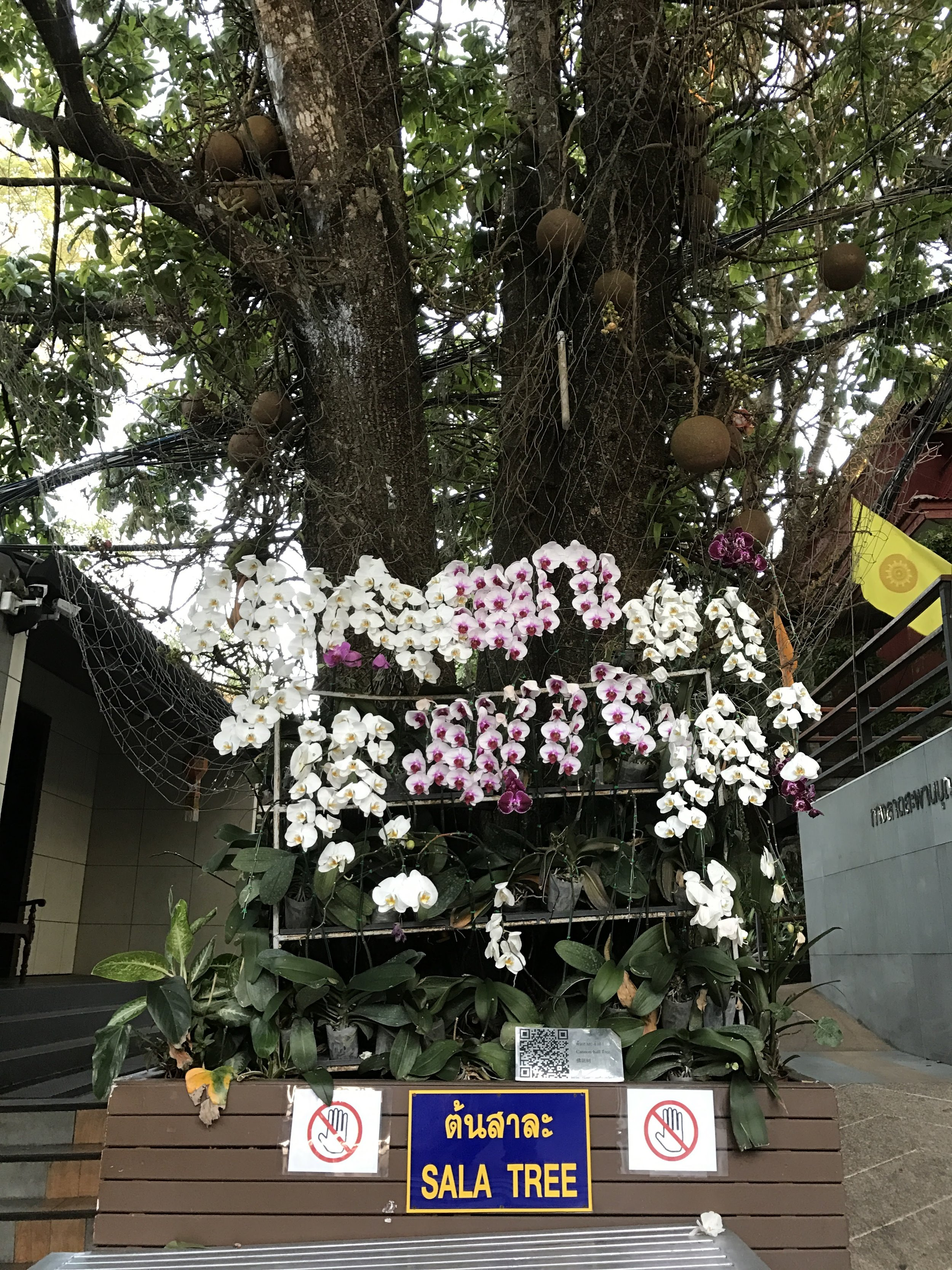 The Sala tree is significant in Buddhist tradition as the tree under which Gautama Buddha was born.