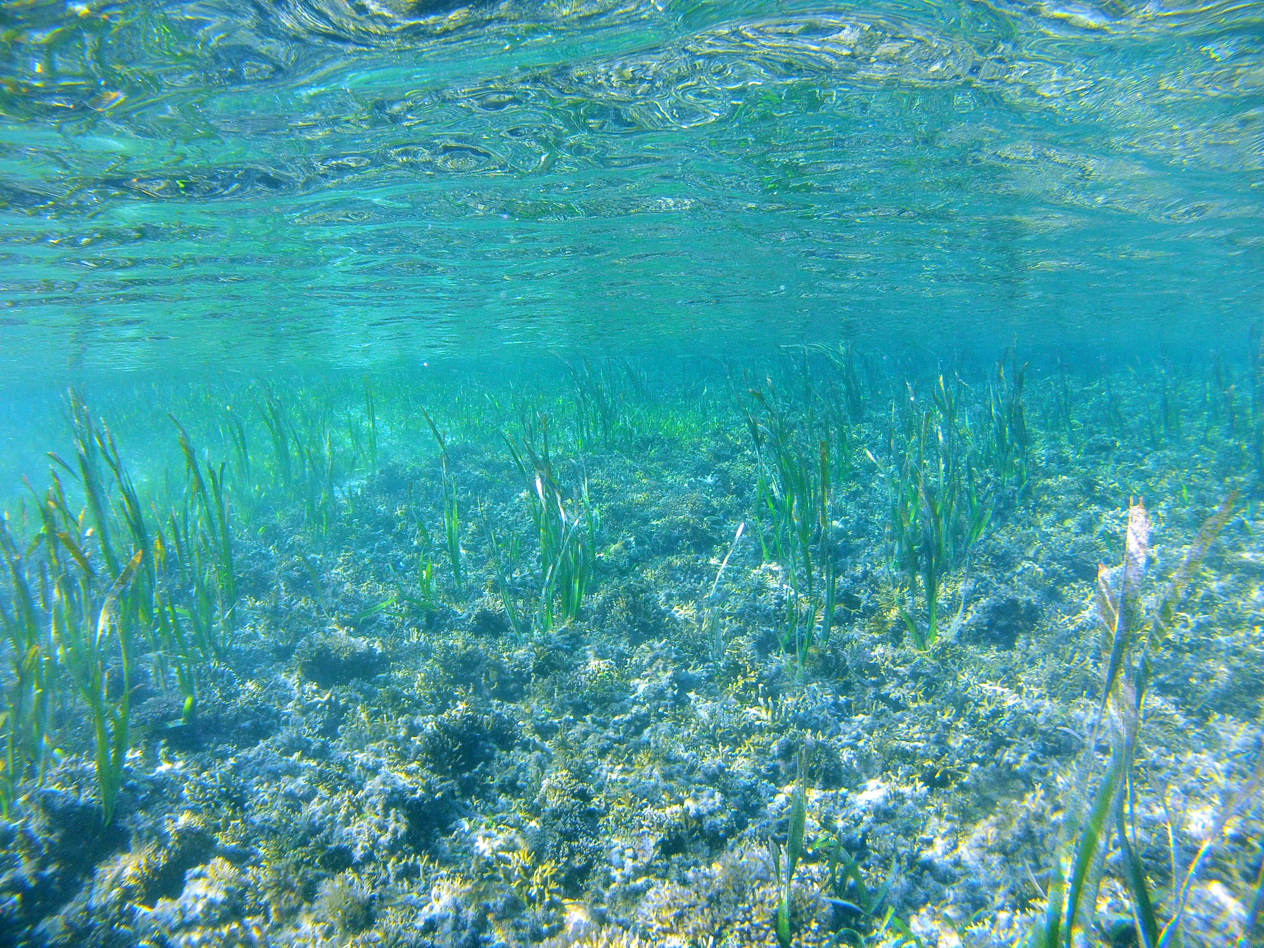 Tropical seagrass meadow in The Republic of Palau (2013)