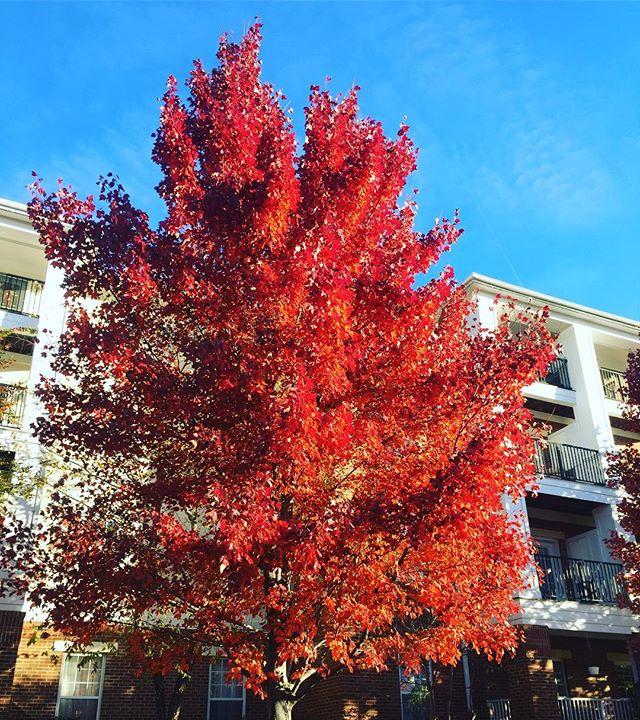 🍁 Lovely fall foliage on this frigid Autumn 🍂 morning. . . . #onlykentlands #alwaysbethriving #thekentlands #kentlands #kentlandsUSA #dcsuburb #dmv #montgomerycounty #Maryland #America #gaithersburgmd #gaithersburg #rockville #dcrealestate #lovingmaryland