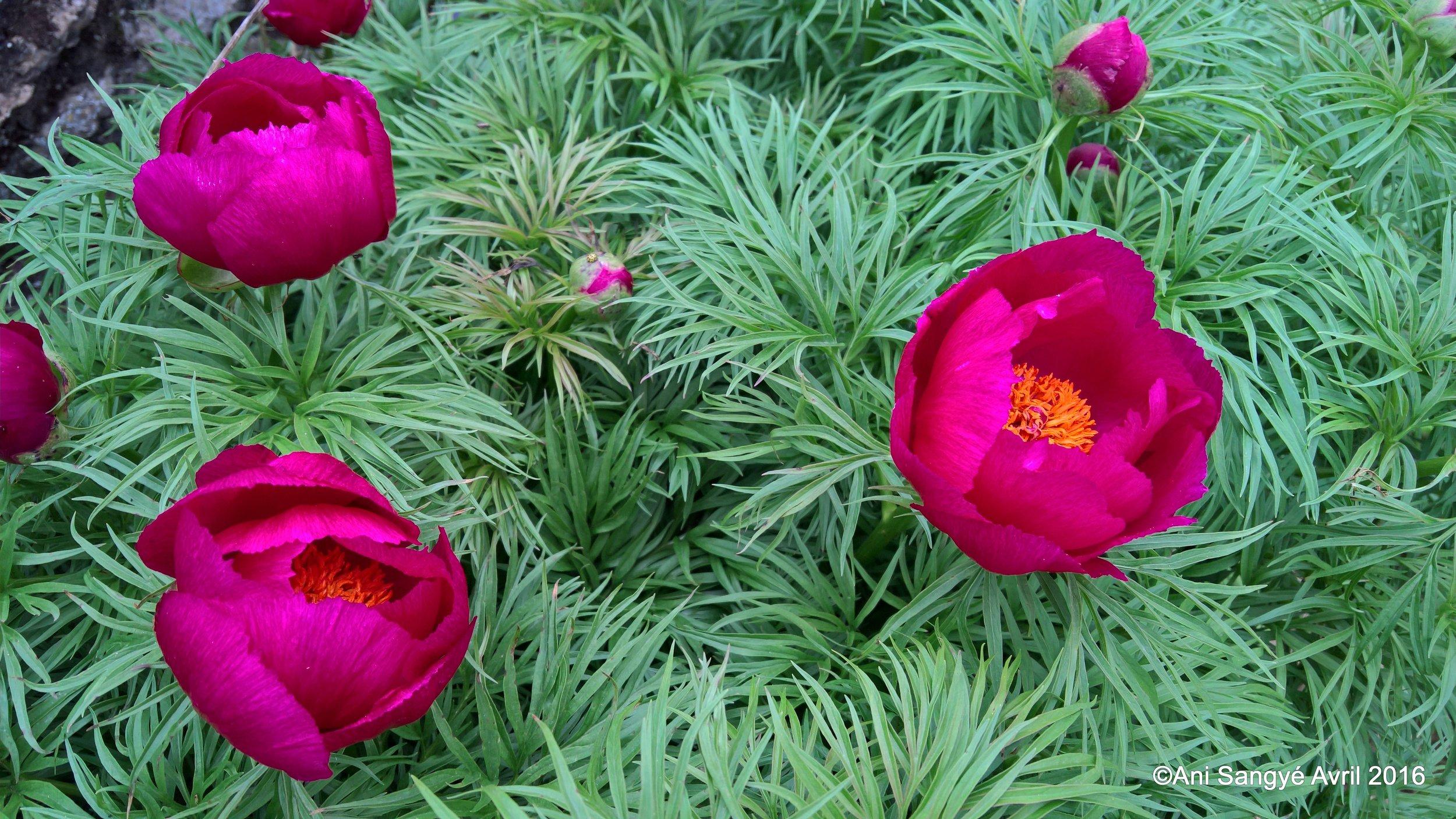 Paeonia simplicifolia
