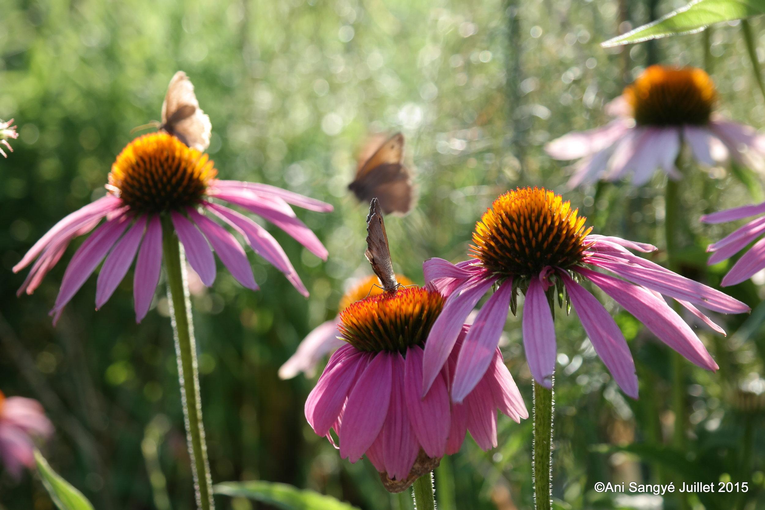 """Echinacea purpurea """"Magnus"""""""