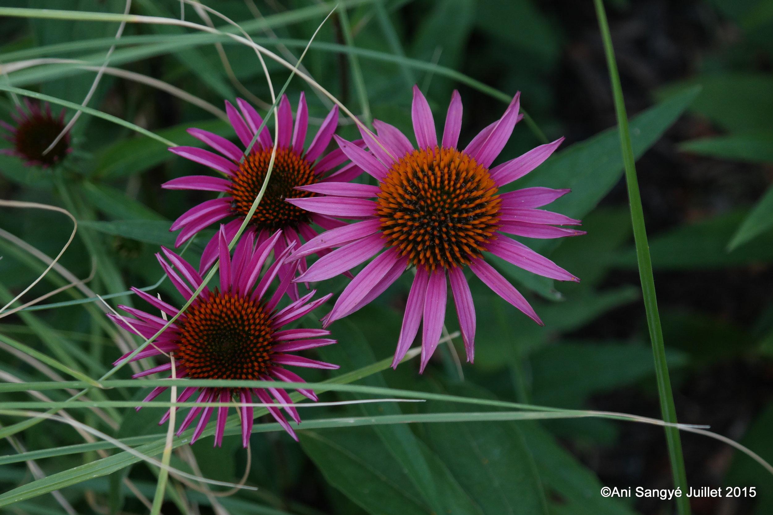"Echinacea purpurea ""Pica Bella """