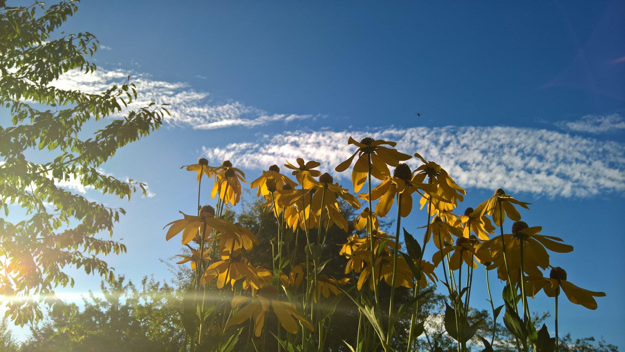 "Rudbeckia laciniata ""Herbstsonne"""