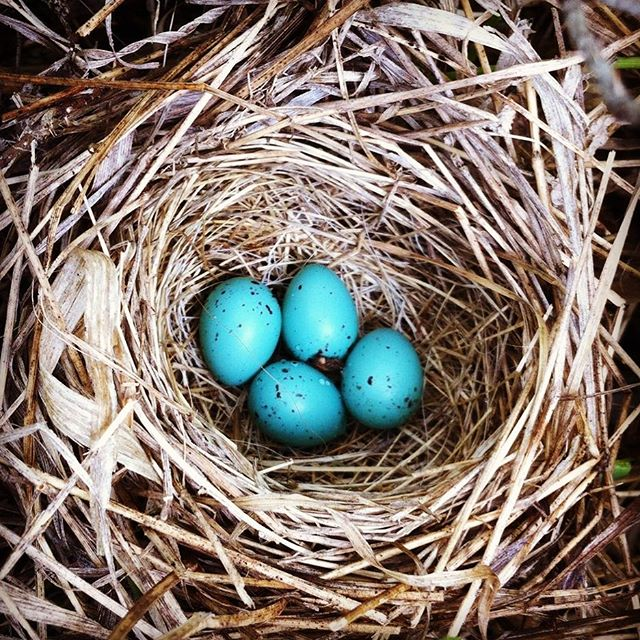 One of my favourite sounds is birds singing on our farm. Looks like we have a few more voices that will be adding their own songs soon! #stumbleduponbeauty #birdsnest #thatblue