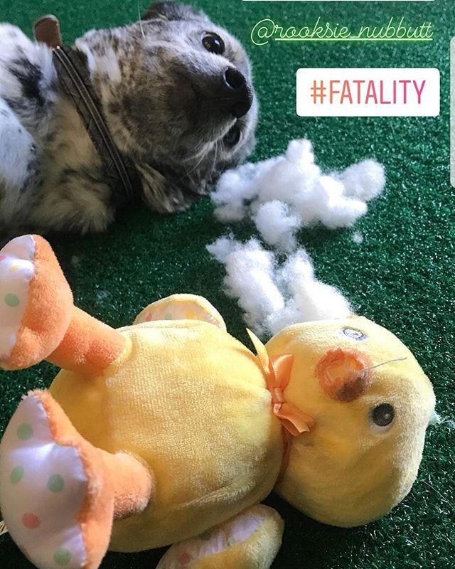 And on the third day ducky will rise  #puppyeaster #puppiesofinstagram #destruction #acd #heelergram #blueheeler #ducky #dogsofinstagram