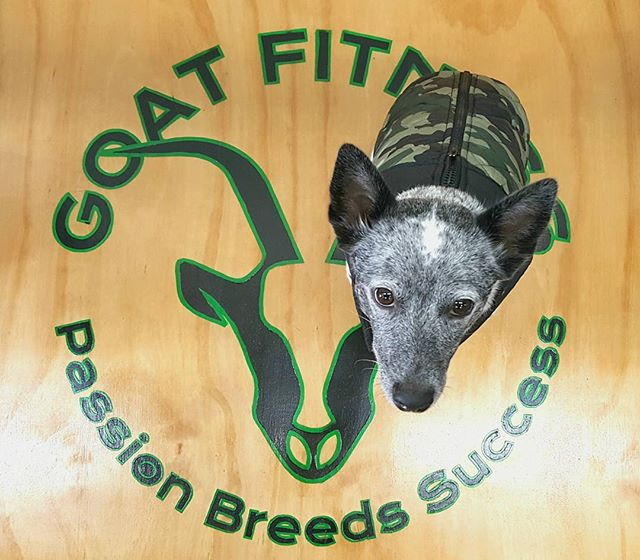 My dad hired me as the mascot for his new gym, @goat_fitness_gym !  #fitpup #fitlife #work #9to5 #heelergram #dogsofinstagram #acd #mascot #gym #gymlife