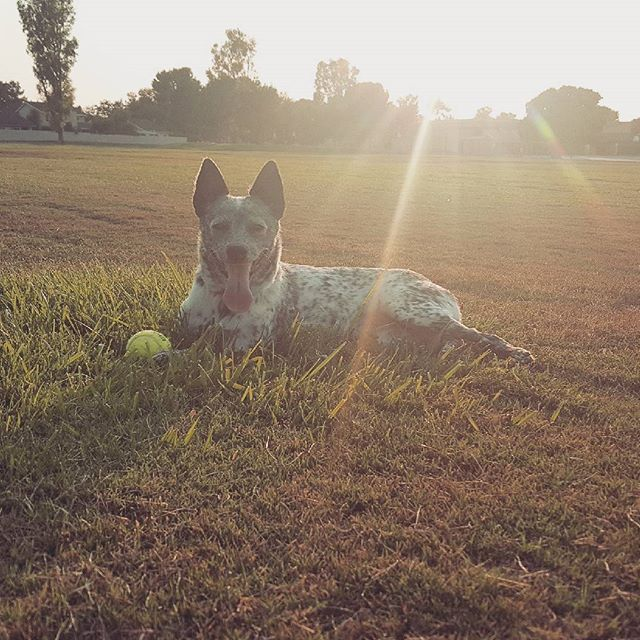 Farm girl for life  #blueheeler #puppylove #puppiesofinstagram #farmgirl #doglife #happyplace #sunday #sundayfunday