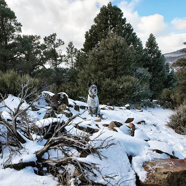 Portrait of a snow pup  #snow #adventurepup #heelergram #campingwithdogs