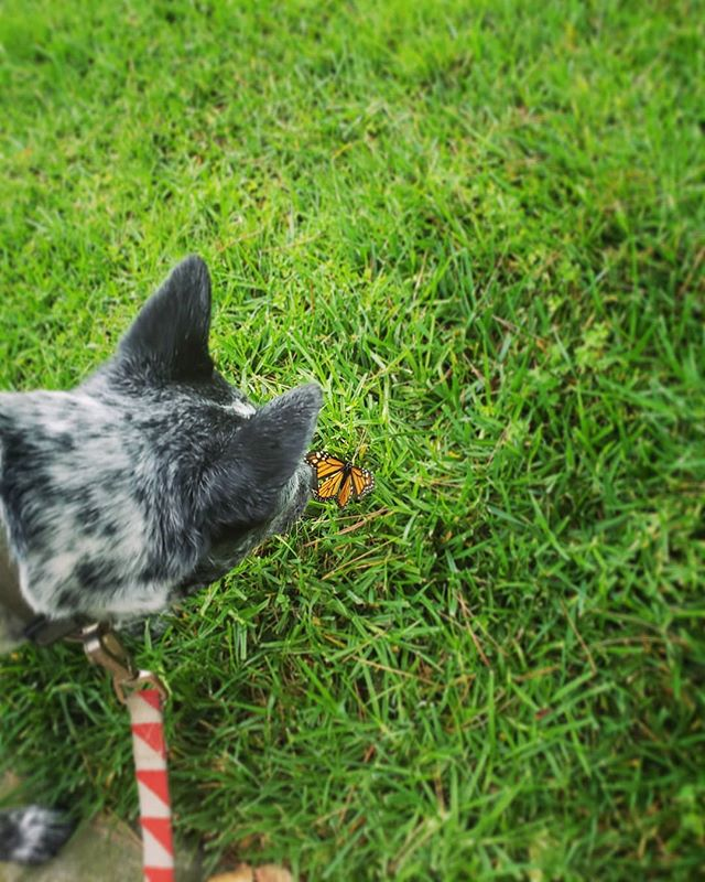 Good morning Mr. Buttersworth McFlyFly  #ididnoteatthebutterfly #butterfly #summertime #heelergram #explore #puppiesofinstagram