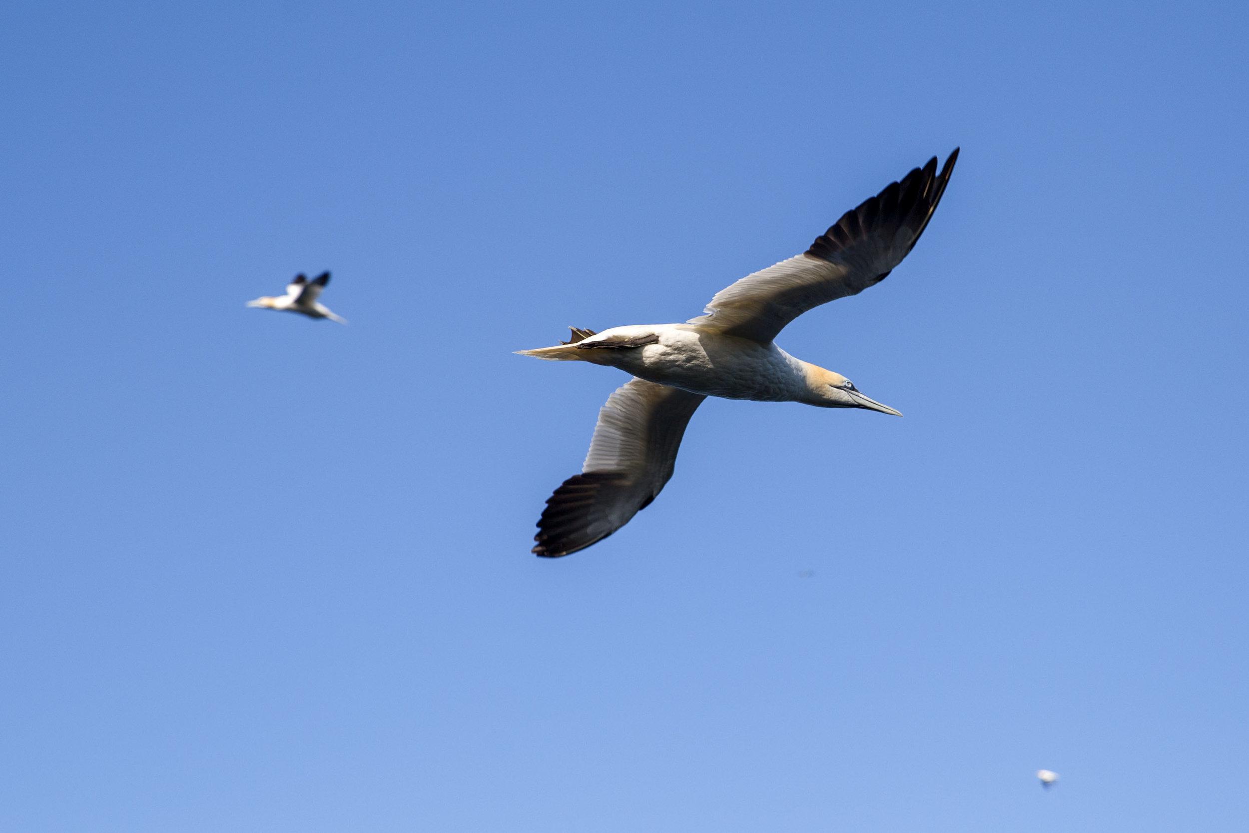 Common Gannet
