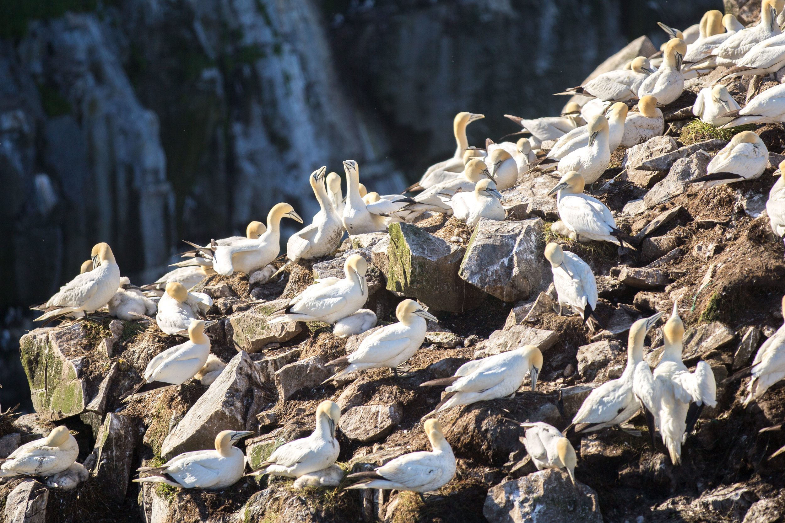 Common Gannets