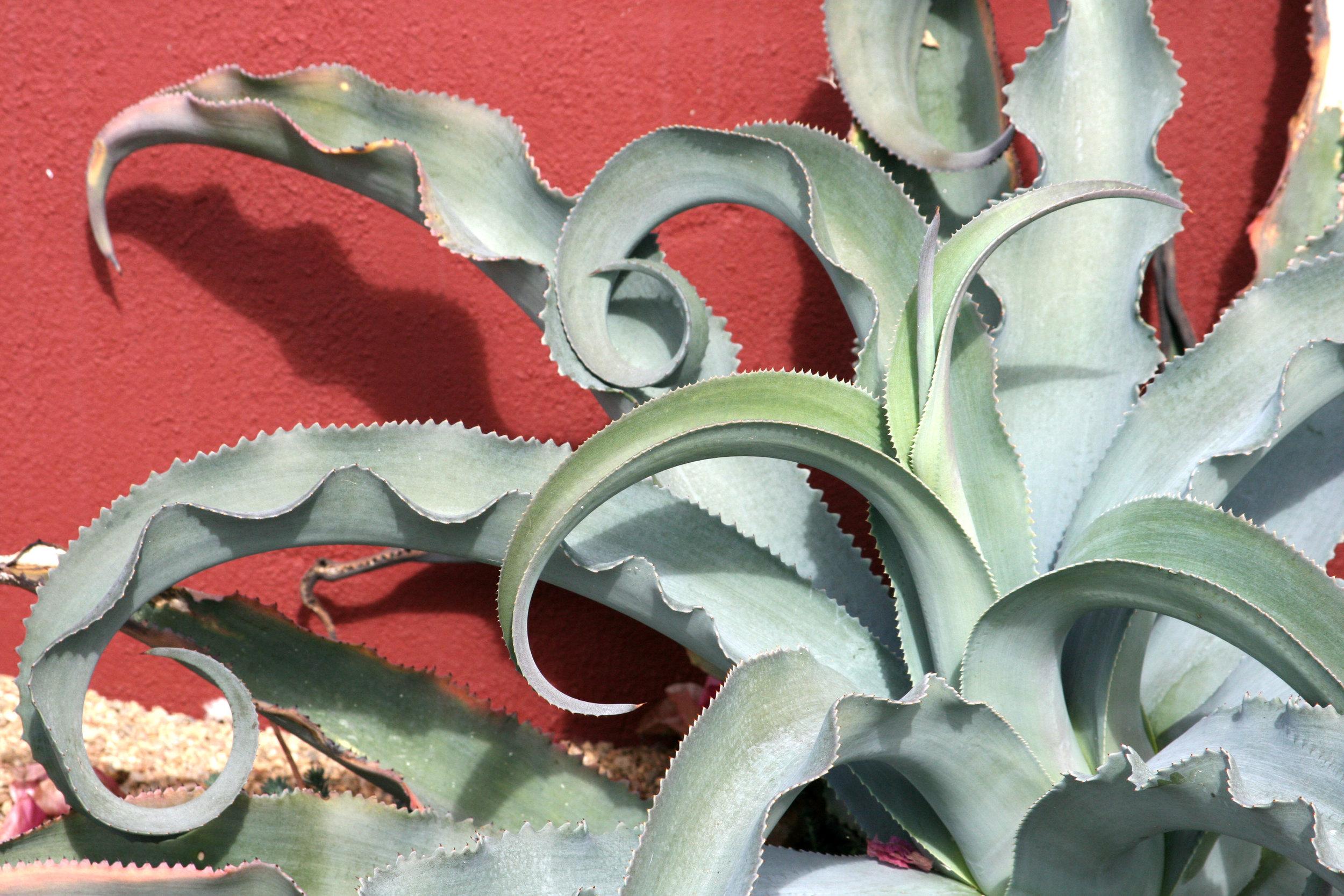 Agave gypsophila.jpg