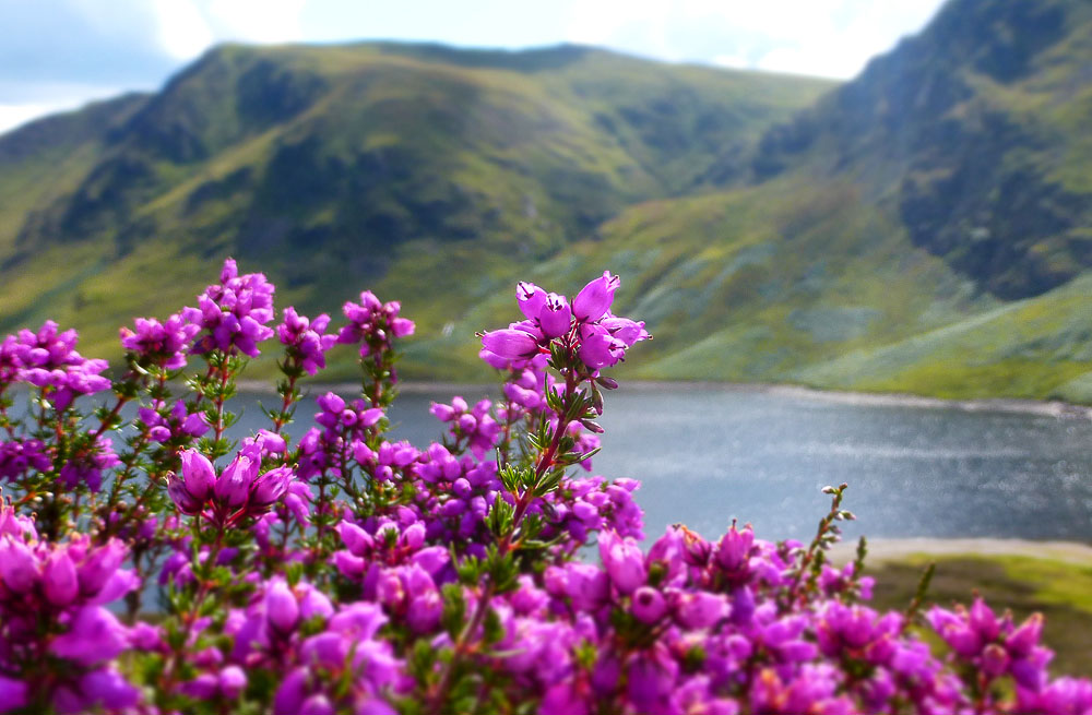 The rugged landscape of Scotland is balanced by the heather growing in the foreground. Image credit:  Walk Highlands