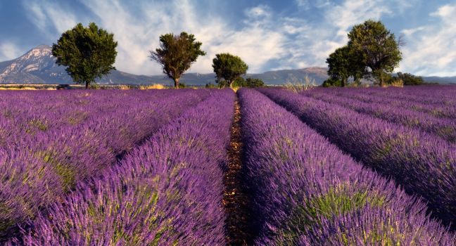 There's something about the lavender fields in Provence that makes everything seem right in the world. Image credit:  Fodor's