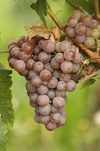 Gewürztraminer ripening in a German vineyard. This bunch is packed with wild aromas and rich flavors.