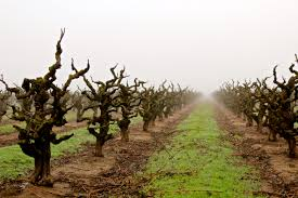 Gnarled old Zinfandel vines. Image credit:  Lodi Winegrape Commission