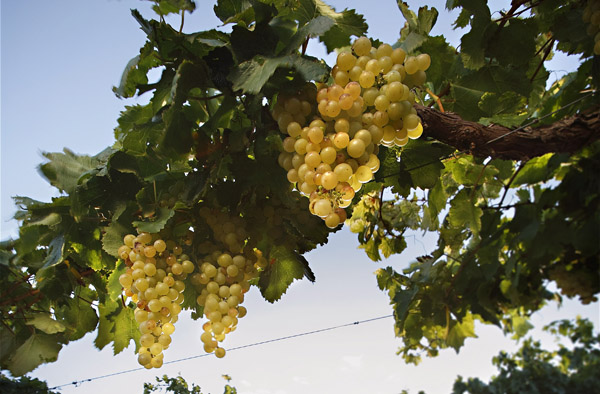 Torrontés grapes ready to become a tasty wine. Image credit: Wines of Argentina