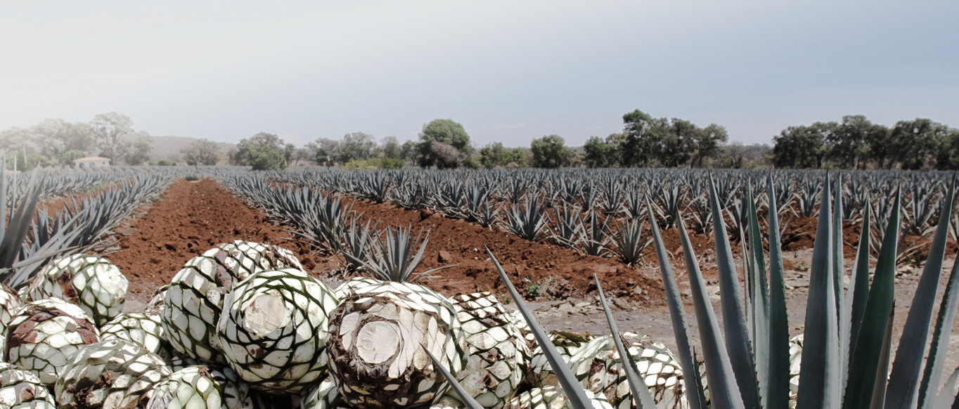 Blue agave fields, with harvested and trimmed agave  piñas  in the foreground.