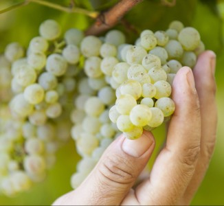 Albariño: the tasty Spanish white grape. Not a used car salesman.