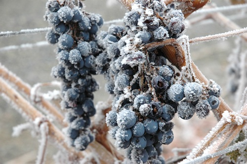 Frosted grapes: great for some, terrible for many.