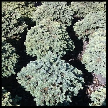 Globe Spruce.jpg