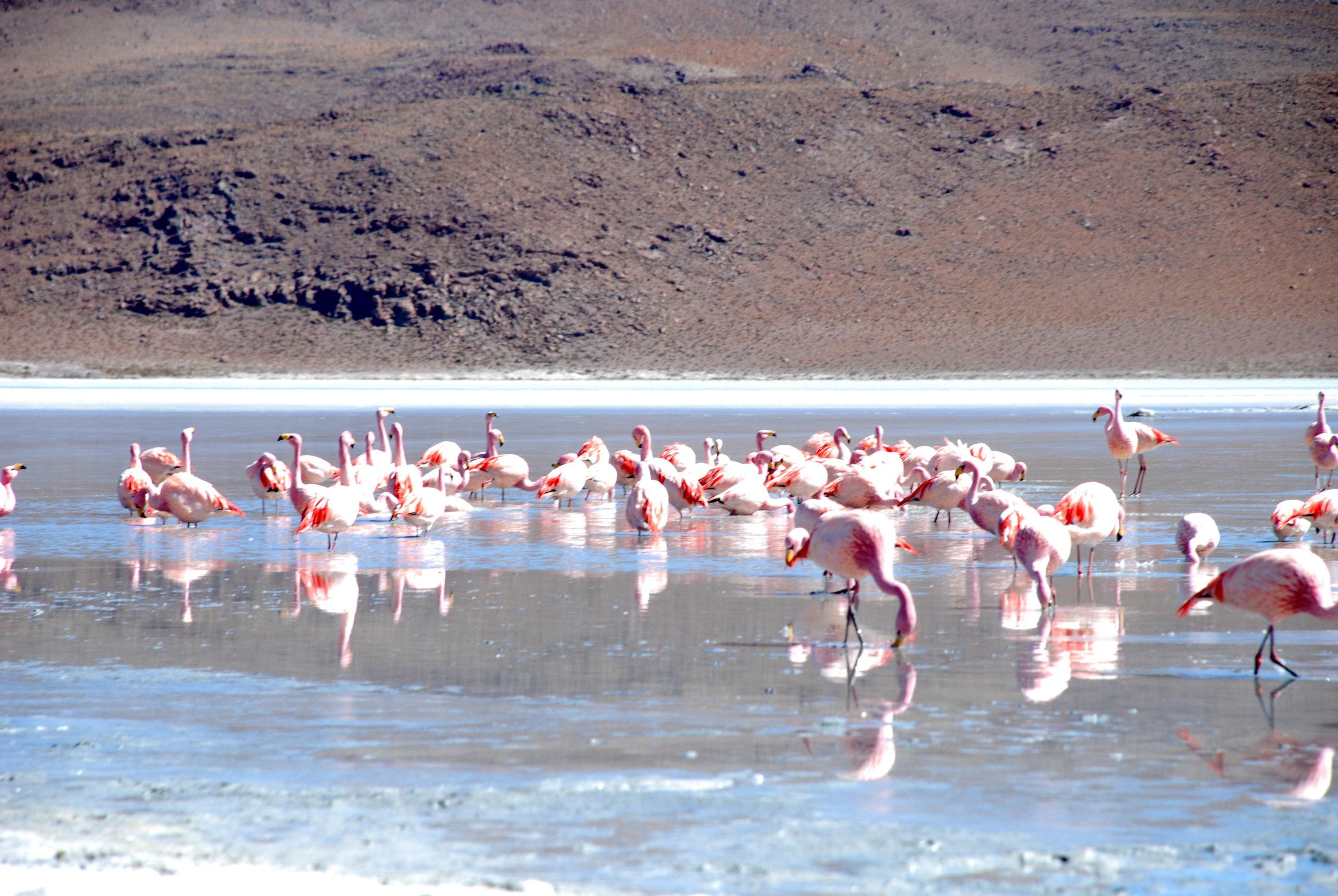 Flamingos in the Great Rann