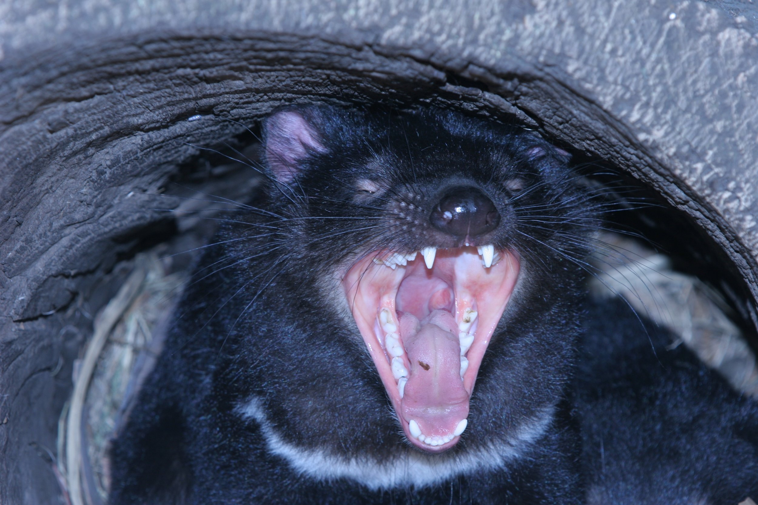 Tasmanian Devil I photographed just as it popped out of a hole in tree.