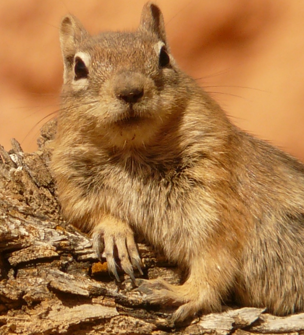 golden-mantled-ground-squirrel-4588_1920.jpg
