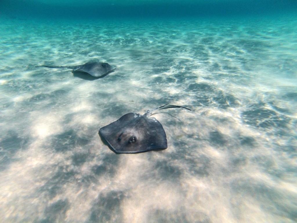 Bottom-feeding-stingrays-1024x768.jpg