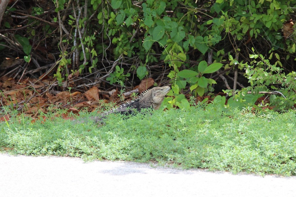 Iguana by the road on Cayman Brac
