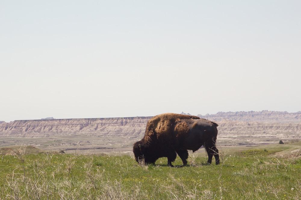 Buffalo-overlooking-Badlands.jpg