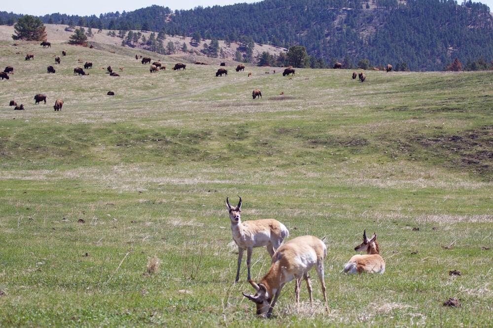 Custer-State-Park-Wildlife-Loop-2.jpg