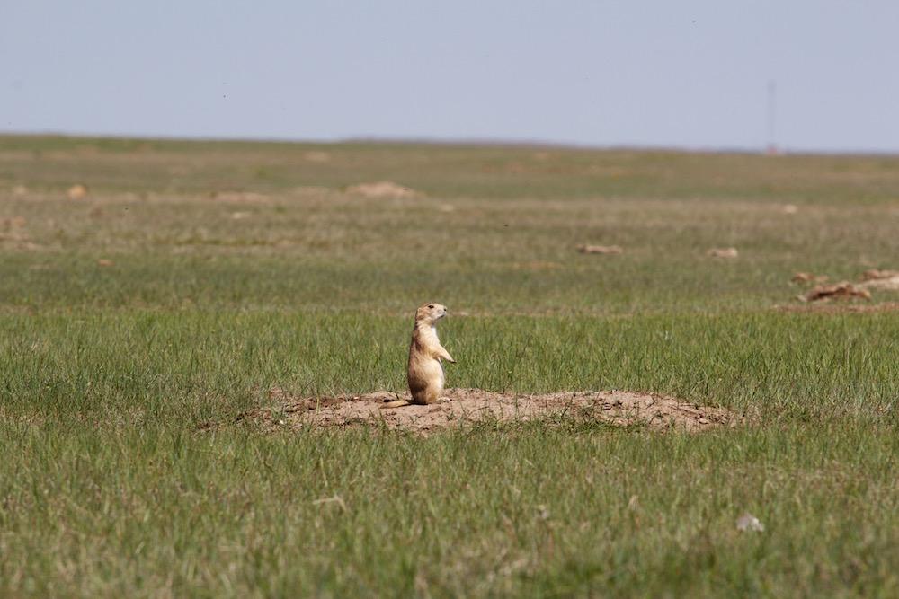 Prairie-Dog-at-Badlands.jpg