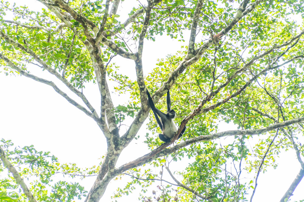 Spider monkey in Tikal.jpg