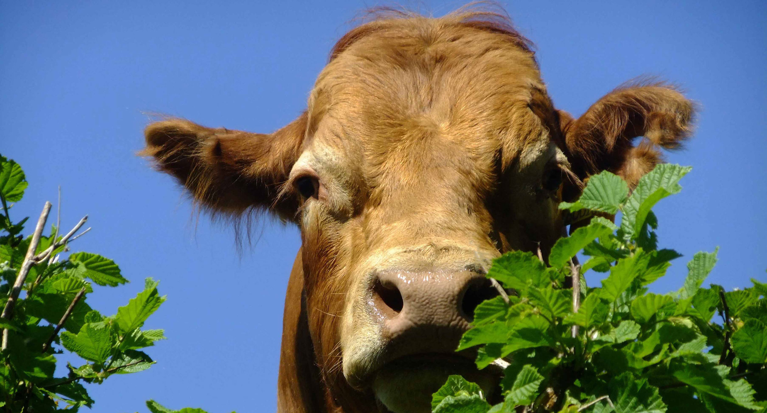 cow_over_a_hedgerow_lores.jpg