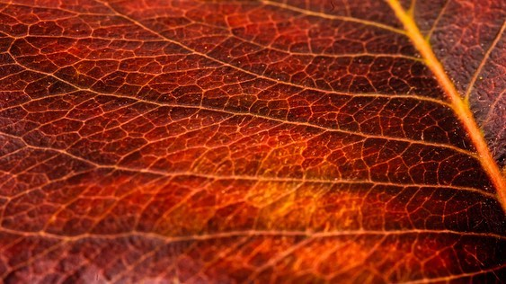 Autumn blast of vibrance and color. #macro #autumn #colorfull #golden #vibrance #fall #winteriscoming