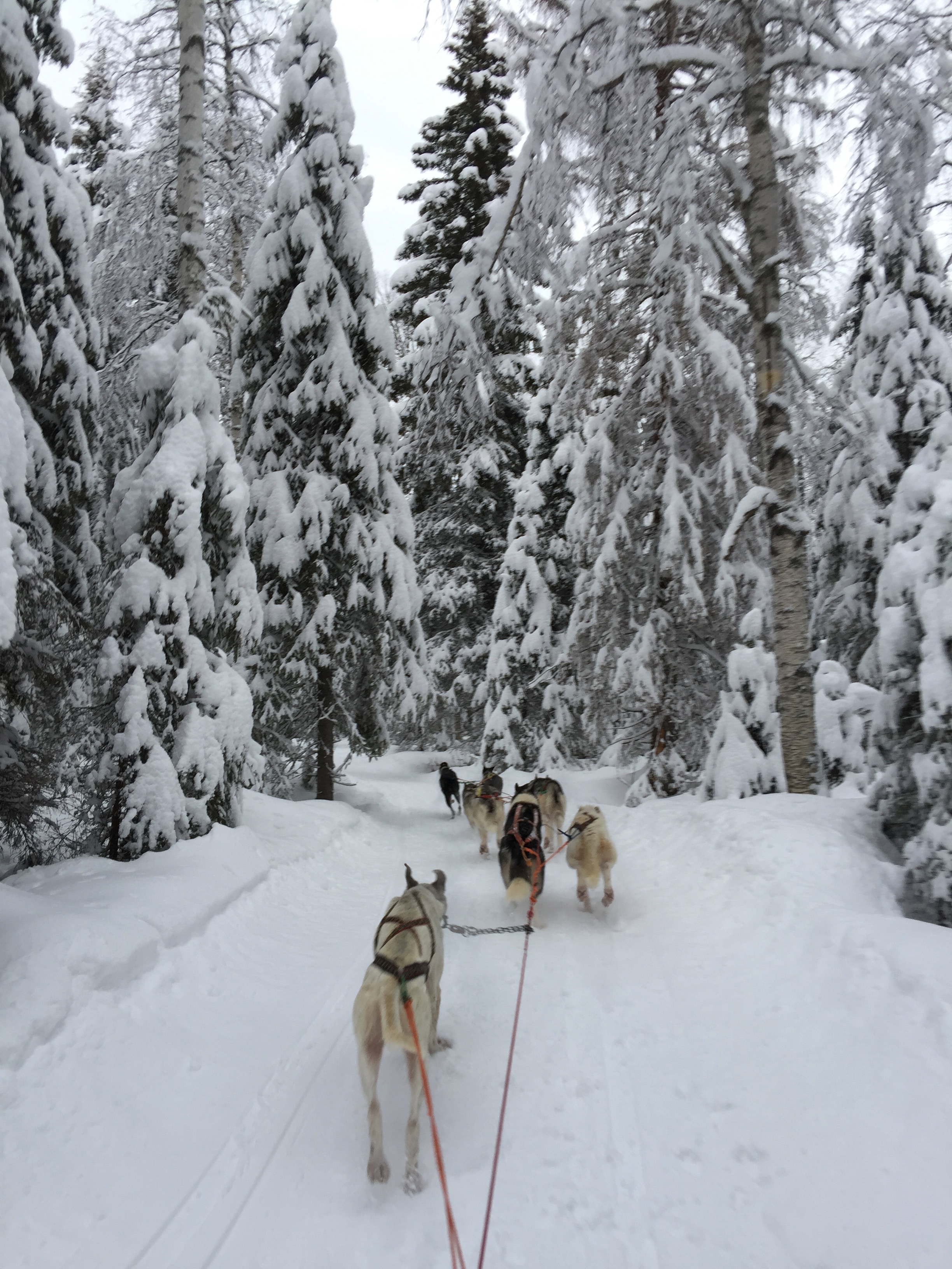 sled-dogs in forest