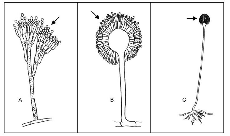 Slika prikazuje glavne plesni, ki se uporabljajo v fermentaciji hrane. (A) Penicillum, (B), Aspergillus, (C) Rhizopus. [5]