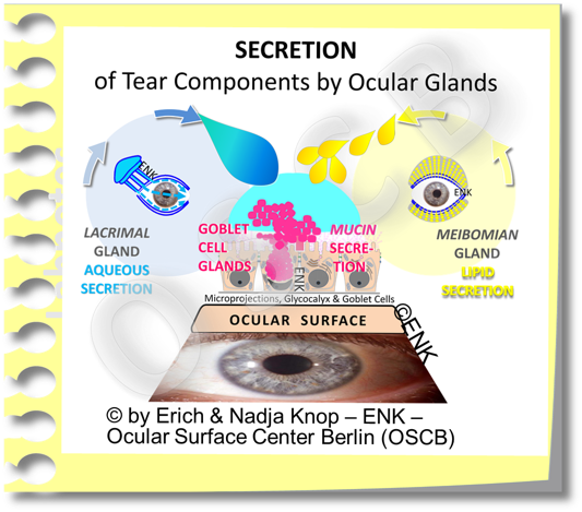 Ocular GLANDS produce the TEAR COMPONENTS