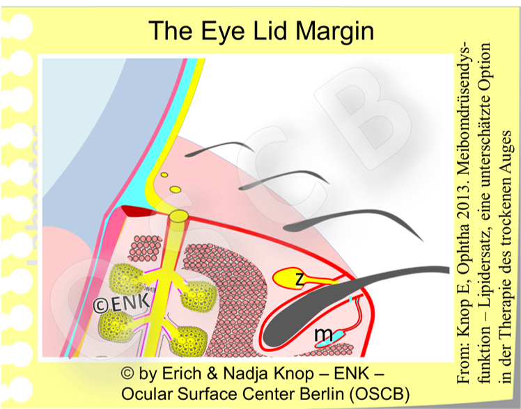 The Lid Margin, in contact with the eye ball, contains the Meibomian oil glands in the back and the eye lashes in the front with the lid muscle for blinking and eye closure in between . It has different zones and some essential functions for the heal of the ocular surface.