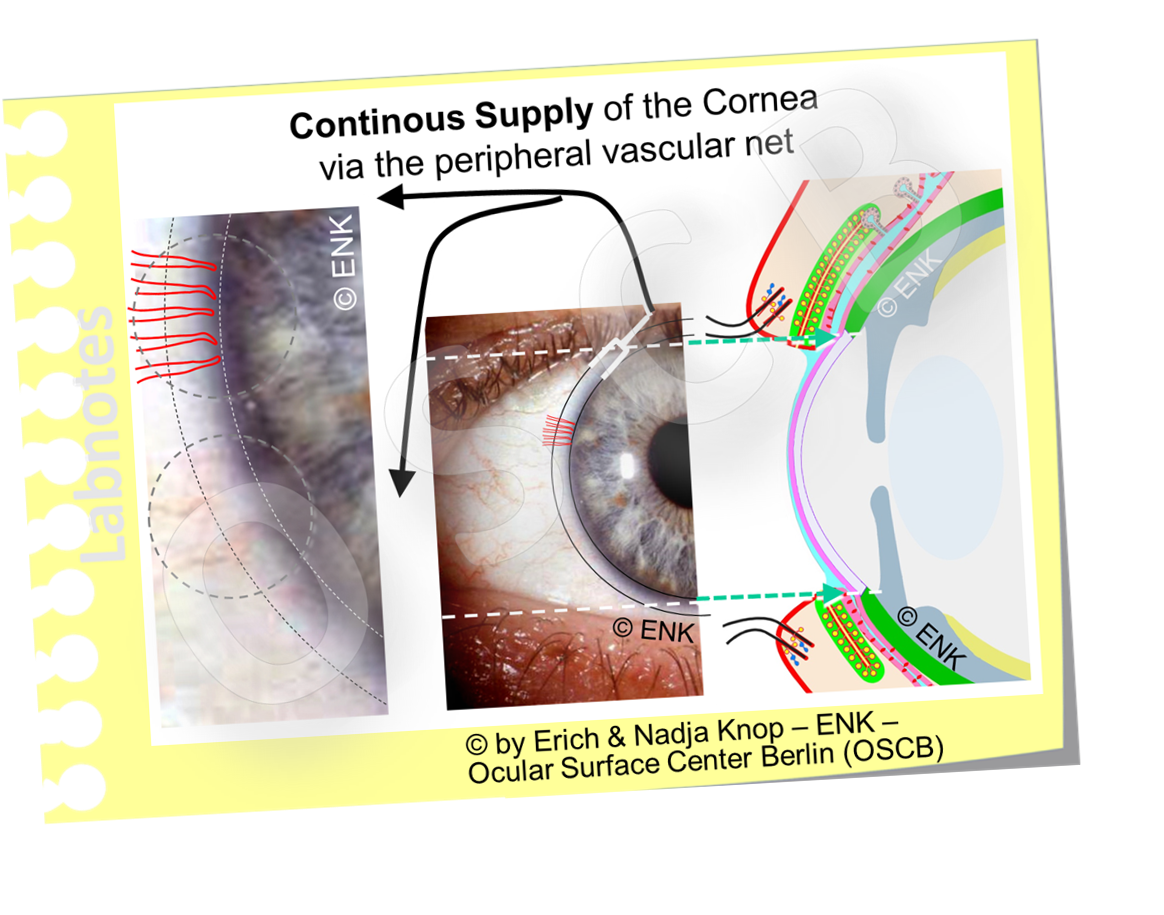 The  CORNEA does not contain blood and lymph vessels  and it therefore  depends on the supply  with nutrients and blood gases  from the peripheral marginal arcades - loops of small blood vessels  - in addition to supply via the liquids of the tear film outside and the liquid of the anterior chamber at the inside through the epithelia.