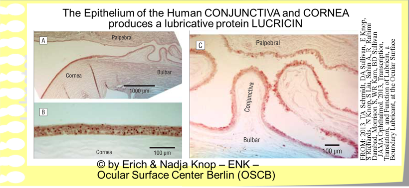 OSCB-Bild_Ocular Surface_Conjunctiva_The epithelium of human CONJUNCTIVA and CORNEA produces LUBRICIN.png